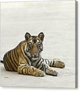 Bengal Tiger Cub On Road Bandhavgarh Np Canvas Print