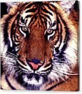 Bengal Tiger Eye To Eye Canvas Print