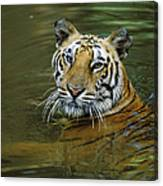 Bengal Tiger In Water Native To India Canvas Print