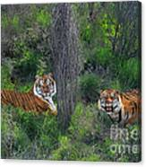 Bengal Tigers On Grassy Hillside Endangered Species Wildlife Rescue Canvas Print