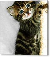 Benny The Kitten Playing Canvas Print