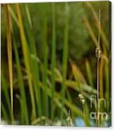 Bent Grass Variation In Nature Canvas Print