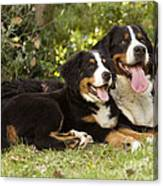 Bernese Mountain Dogs Canvas Print