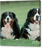 Bernese Mountain Dogs Canvas Print