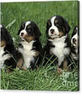 Bernese Mountain Puppies Canvas Print