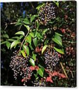 Berry Tree Canvas Print