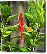 Best Close-up Green Hummingbird On Red Hibiscus Flower. Canvas Print