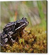 Beutiful Frog On The Moss Canvas Print