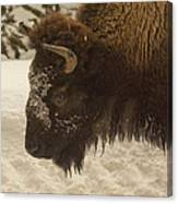 Beware Of The Bison Canvas Print