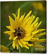 Big Beautiful Bumble Bee On Flower Canvas Print
