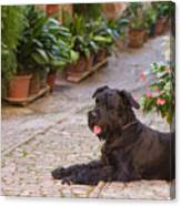 Big Black Schnauzer Dog In Italy Canvas Print