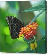 Big Boy Butterfly Canvas Print