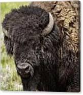 Big Bruiser Bison Canvas Print