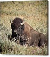 Big Buff - Bison - Buffalo - Yellowstone National Park - Wyoming Canvas Print