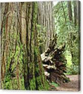 Big California Redwood Tree Forest Art Prints Canvas Print