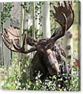 Big Daddy The Moose 3 Canvas Print