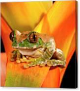 Big Eye Treefrog, Leptopelis Canvas Print