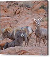 Big Horn Group Pose Canvas Print