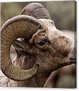 Big Horn Ram   #1503 Canvas Print