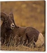 Big Horn Ram   #4452 Canvas Print