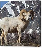 Big Horn Ram In Spring Canvas Print