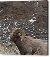 Big Horn Rams And Hoo Doos   #6587 Canvas Print