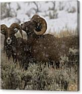 Big Horn Rams In Snow   #2484 Canvas Print