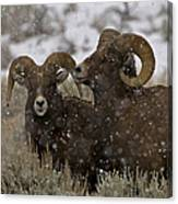 Big Horn Rams In The Snow   #2493 Canvas Print