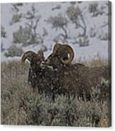 Big Horn Rams In The Snow   #2523 Canvas Print