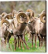 Big Horn Sheep Bachelors Canvas Print
