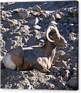 Big Horn Sheep Close Up Canvas Print