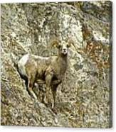 Big Horn Sheep On Mountain Canvas Print