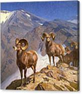 Big Horn Sheep On Wilcox Pass Canvas Print