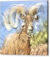 Big Horned Sheep 3 Canvas Print