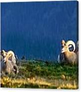 Big Horns Canvas Print