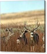 Big Mule Deer Bucks Canvas Print