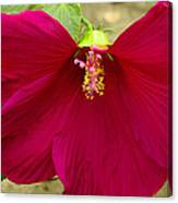 Big Red Hibiscus Bloom Canvas Print
