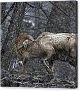 Bighorn Caught In A Blizzard Canvas Print