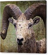 Bighorn Country Canvas Print
