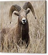 Bighorn Grassland Canvas Print