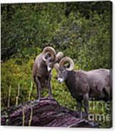 Bighorn Ram 4 Canvas Print