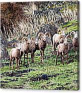 Bighorn Row Canvas Print