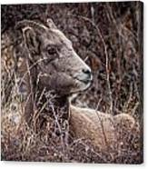 Bighorn Sheep 2 Canvas Print
