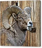 Bighorn Sheep Barnwood Canvas Print