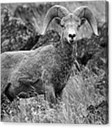 Bighorn Sheep Mountain Canvas Print