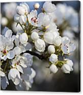 Billows Of Fluffy White Bradford Pear Blossoms Canvas Print