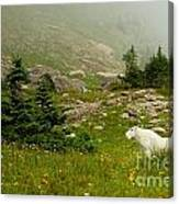 Billy Goat 2 Canvas Print