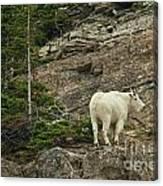 Billy Goat 4 Canvas Print