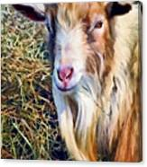 Billy Goat Closeup Canvas Print