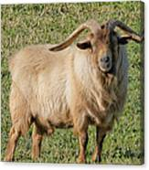 Billy Goat Canvas Print